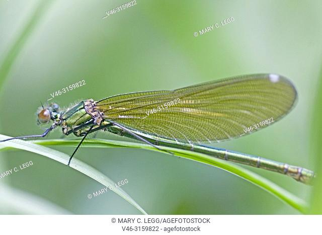 Female Beautiful Demoiselle, Calopteryx virgo