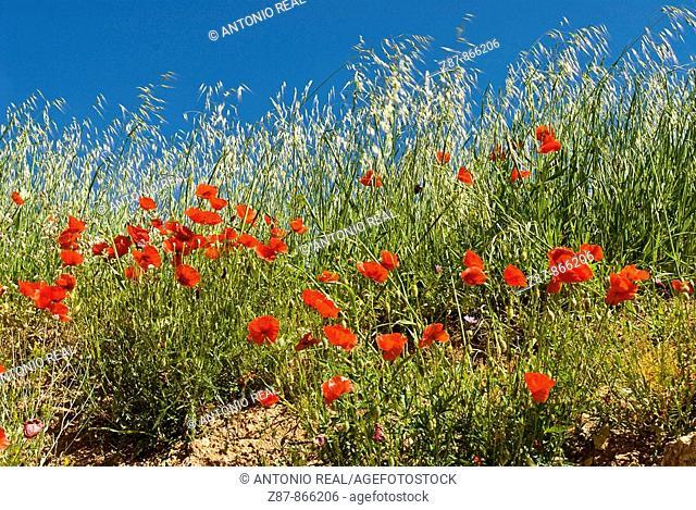 Poppies (Papaver rhoeas). Paterna del Madera, Sierra de Alcaraz, Albacete province, Castilla-La Mancha, Spain