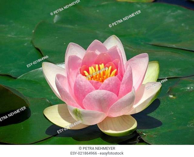 rosa Seerose - Nymphaea
