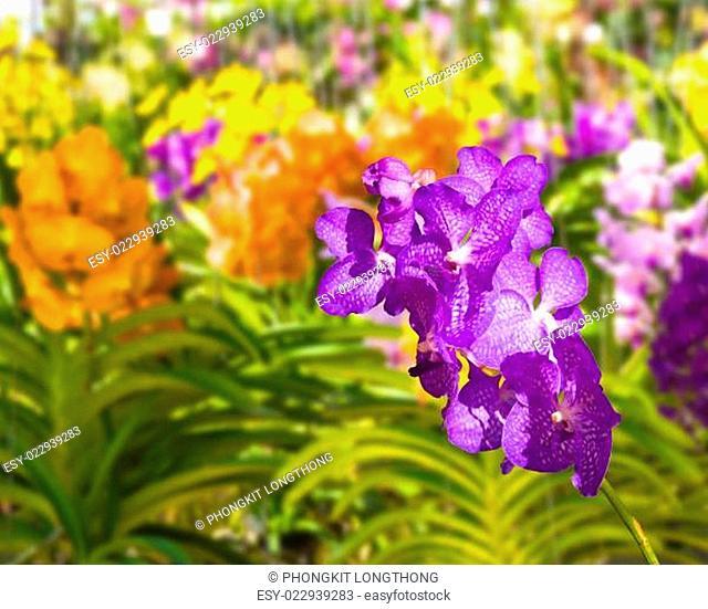 Blue Vanda coerulea Orchid