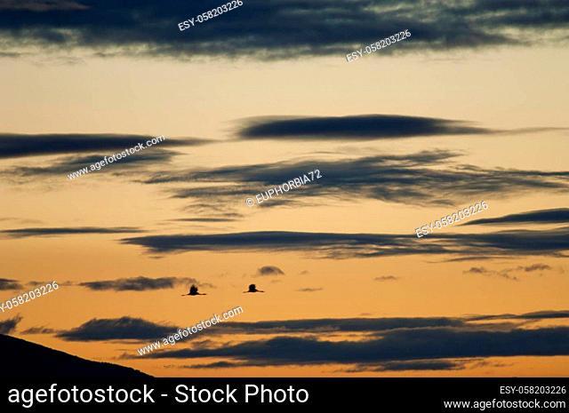 Common cranes Grus grus in flight at dawn. Picture blur to suggest movement. Gallocanta Lagoon Natural Reserve. Aragon. Spain