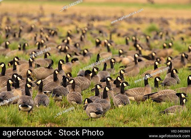 United States; Ostertag; William Finley National Wildlife Refuge; Oregon; bird; Willamette Valley; Corvallis; birding trail; McFadden Marsh; lake; pond; flock;...