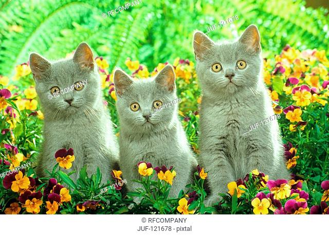 three young Carthusian cats - between flowers