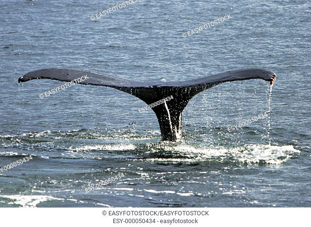 North Pacific Humpback Whale (Megaptera novaeangliae) fluke-up dive in Southeast Alaska, USA