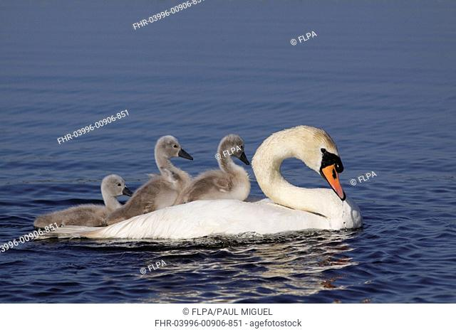 Mute Swan (Cygnus olor) adult, with two cygnets riding on back and one swimming beside, swimming on pool at site of former opencast coal mine, St