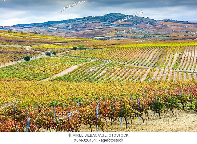 Vineyards in autumn. Cenicero village. La Rioja, Spain, Europe