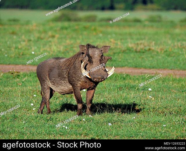 Warthog in the Masai Mara, Kenya, Africa Warthog in the Masai Mara, Kenya, Africa