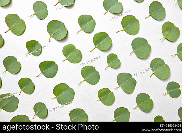 Vertical plant pattern from evergreen natural leaves of Eucalyptus diagonally arranged on a light grey background. Congratulation card. Top view