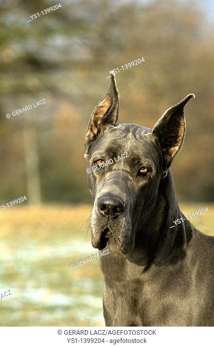 Great Dane or German Mastiff Dog old standard breed with cut ears