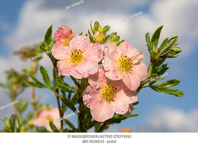 Finger shrub (Potentilla fruticosa), Princess variety, pink flowers with water drops, Germany, Europe