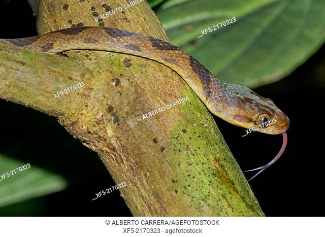 Mapepire Corde Violon, Blunthead Tree Snake, Imantodes cenchoa, Tropical Rainforest, Corcovado National Park, Osa Conservation Area, Osa Peninsula, Costa Rica
