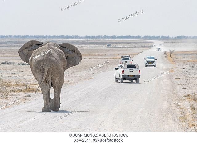 African savannah elephant (Loxodonta africana). Etosha National Park. Namibia. Africa