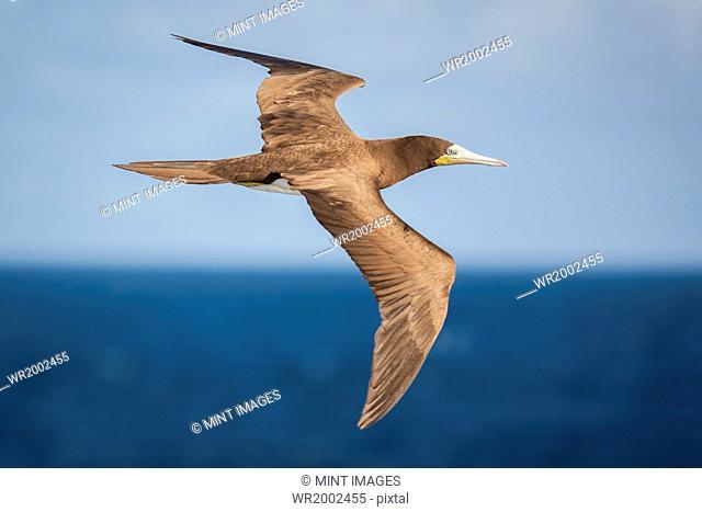 Brown Booby in flight over the ocean