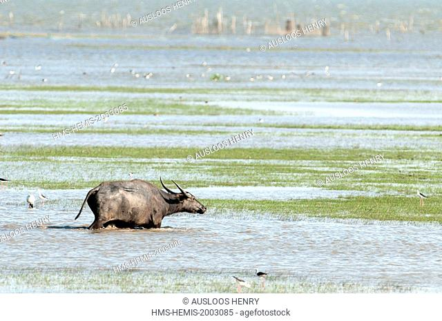 Thailand, water buffalo (Bubalus bubalis)