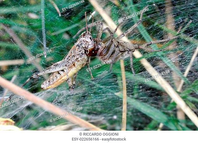 ragno, ragno mangia ortottero, cavalletta, predazione, preda, tela, ragnatela, cogne, parco nazionale gran paradiso