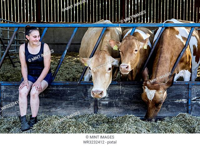 Young woman sitting in a barn with three Guernsey cows
