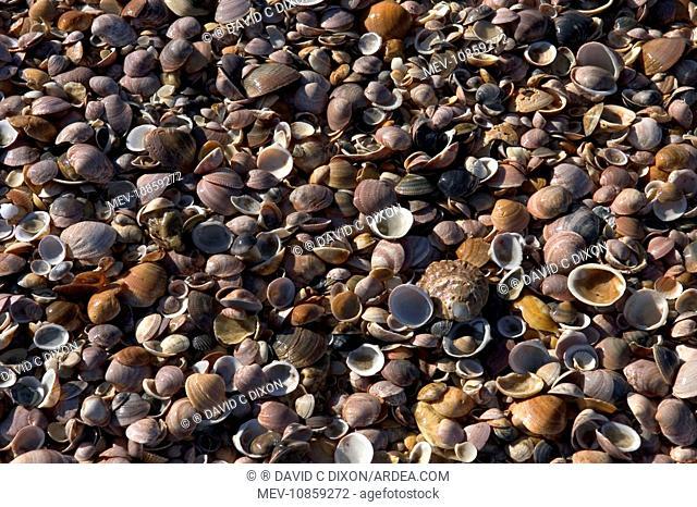 Shells - mass on beach. Spain's Atlantic coast-line. Punta Umbria, Province of Huelva. Spain. Thousands of mollusc shells are cast-up by waveseach day