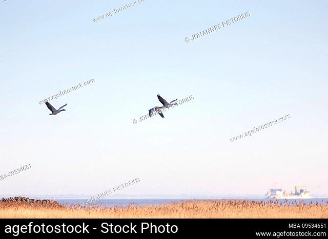 Europe, Germany, Lower Saxony, Otterndorf. Greylag geese (Anser anser) fly over the Elbe estuary at sunrise