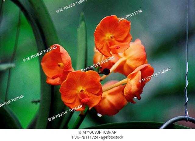 Orchid Himantoglossum adriaticum flower, Bangladesh