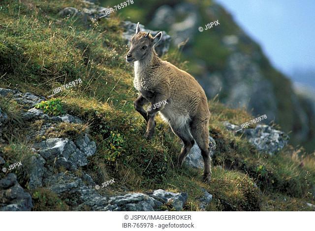 Alpine Ibex, Ibex, Steinbock (Capra ibex), fawn