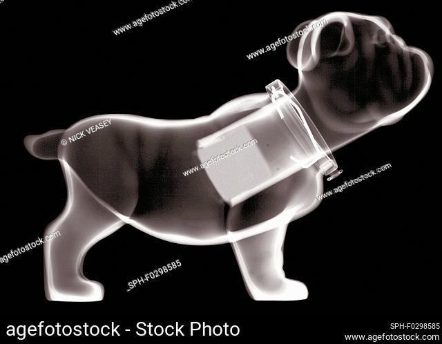 Plastic nodding bulldog, X-ray
