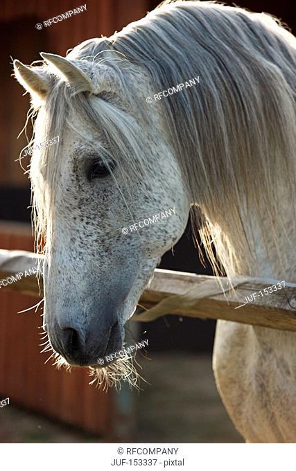 Andalusian horse - portrait