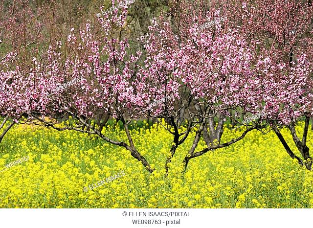 Cherry tree with pink petals just starting to bloom in early spring in a field with wild mustard Brassica, a yellow weed  Gilroy, California