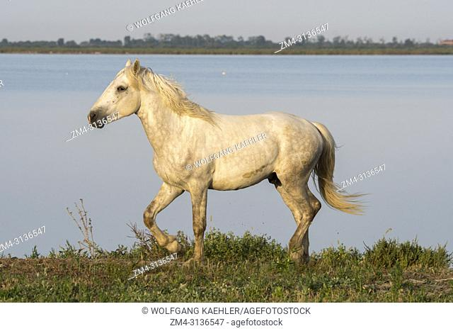 A Camargue stallion is walking along the shore of a lake in the Camargue in southern France