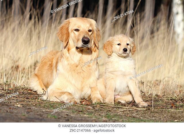 Hovawart dog / adult and puppy in a wood