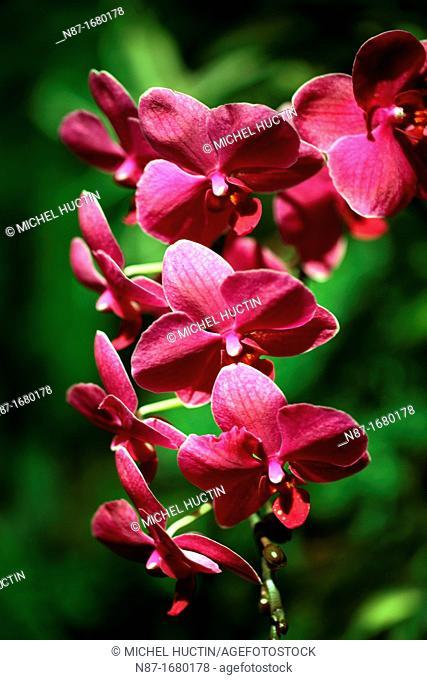Orchid leylacattleya