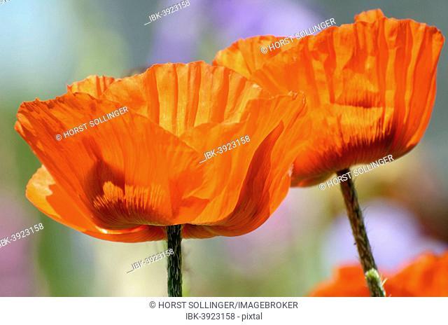Oriental Poppy (Papaver orientale), flowers, Bavaria, Germany