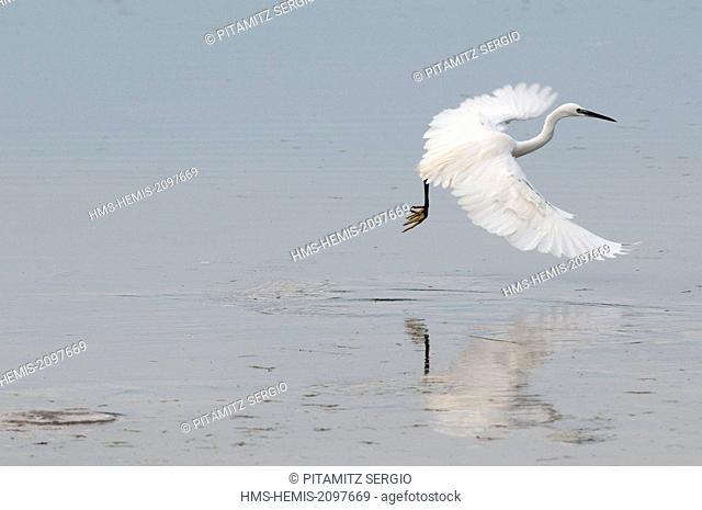 Botswana, Okavango delta, listed as World Heritage by UNESCO, Khwai Concession Area, Little egret (Egretta garzetta)