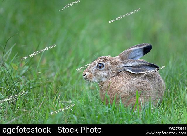 Feldhase wurde von der Schutzgemeinschaft Deutsches Wild im Jahr 2015 zum TIER DES JAHRES erklaert / European Hare was first described by German zoologist Peter...
