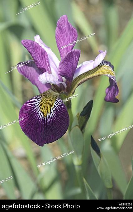 John Wood Blue Flag iris (Iris versicolor â. . John Woodâ. . ). Called Dagger flower, Water iris and Liver lily also