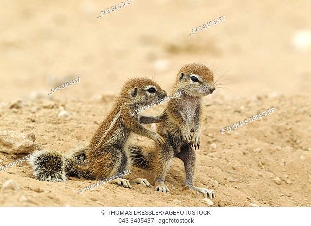 Cape Ground Squirrel (Xerus inauris). Two young at their burrow. Kalahari Desert, Kgalagadi Transfrontier Park, South Africa