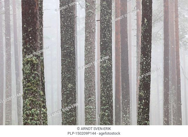 Scots Pine (Pinus sylvestris), tree trunks covered in tube lichen (Hypogymnia physodes / Parmelia physodes) in coniferous forest in the mist