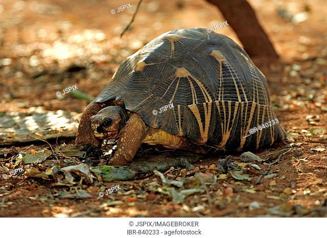 Madagascan Radiated Tortoise (Astrochelys radiata), adult, Berenty Game Reserve, Madagascar, Africa