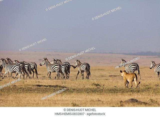 Kenya, Masai Mara National Reserve, lion (Panthera leo), lioness and zebras