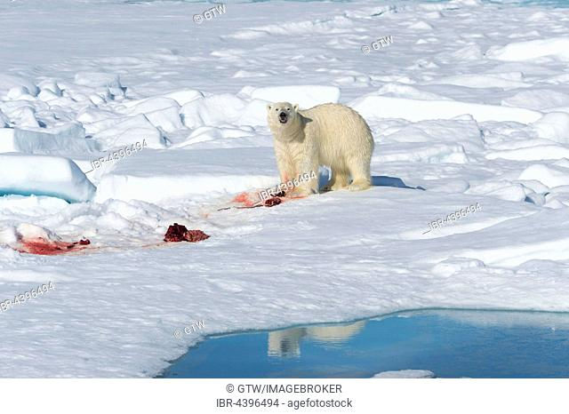Male polar bear (Ursus maritimus) on pack ice, feeding on remains of preyed seal, Spitsbergen, Svalbard, Norway