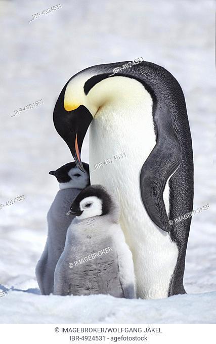 Emperor penguins (Aptenodytes forsteri), dam with chicks on ice, Snow Hill Island, Weddell Sea, Antarctica