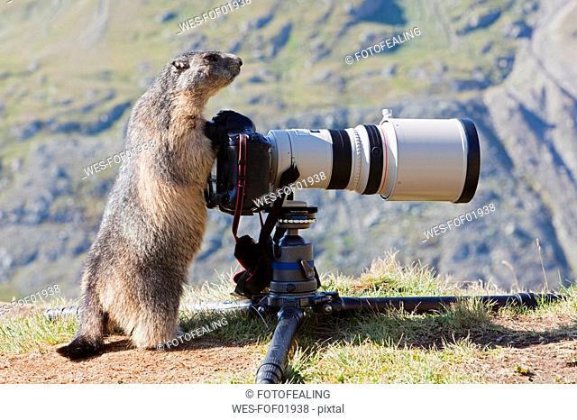 Austria, Grossglockner, Alpine Marmot Marmota marmota standing by camera
