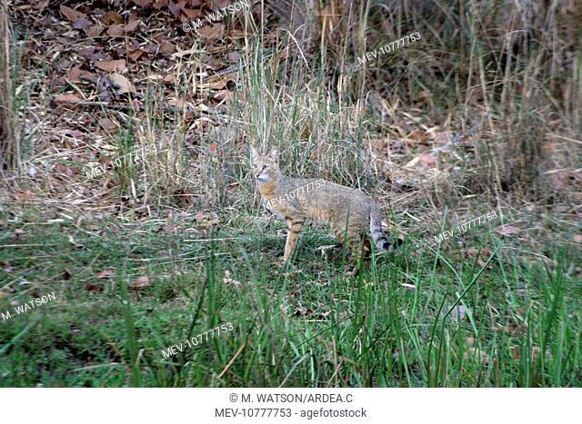Jungle Cat - In grass (Felis chaus)