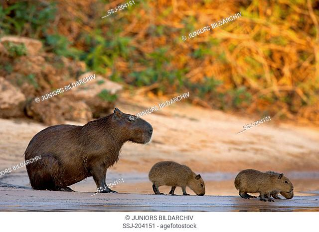 Capybara (Hydrochoerus hydrochaeris). Mother with young on a riverbank. Pantanal, Brazil