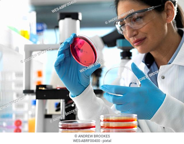 Scientist examining cultures growing in petri dishes using a inverted microscope in the laboratory