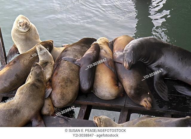 Sea lions, Santa Cruz Wharf, Santa Cruz, California, United States. RM