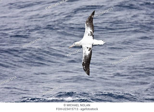 Wandering albatross Diomedea exulans on the wing in the Drake Passage between the tip of South America and the Antarctic Peninsula, southern ocean