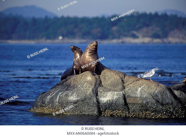 Sea Lions, Race Rocks, Vancouver Island, British Columbia, Canada