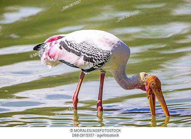 Sri Lanka, Yala national park, Painted stork (Mycteria leucocephala), fishing in a waterhole