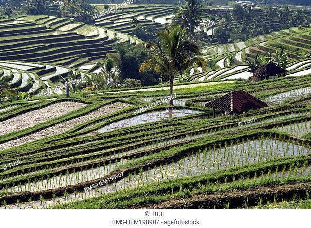 Indonesia, Bali, rice field near Ubud