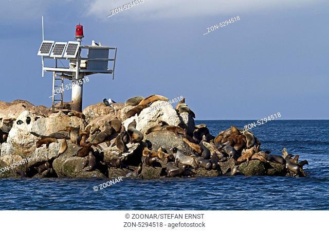 Kalifornische Seelöwen, Kalifornien / California sea lions, California / Zalophus californianus